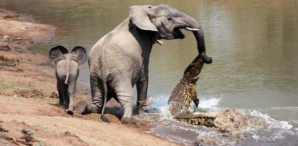 elephant and crocodile