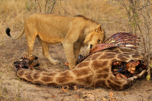 лев и жираф