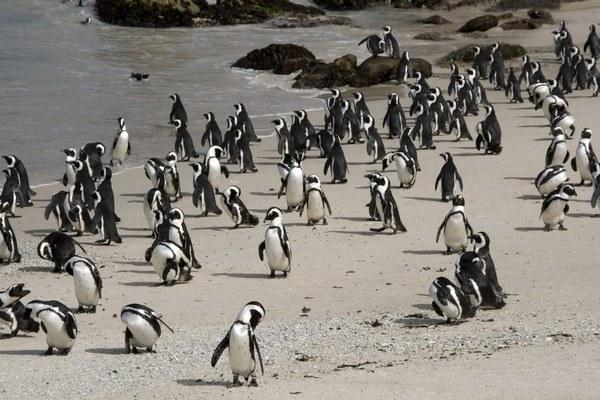 пингвины в Южной Африке