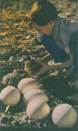 яйця страуса