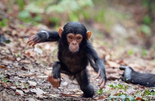 маленький шимпанзе
