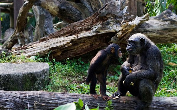 шимпанзе