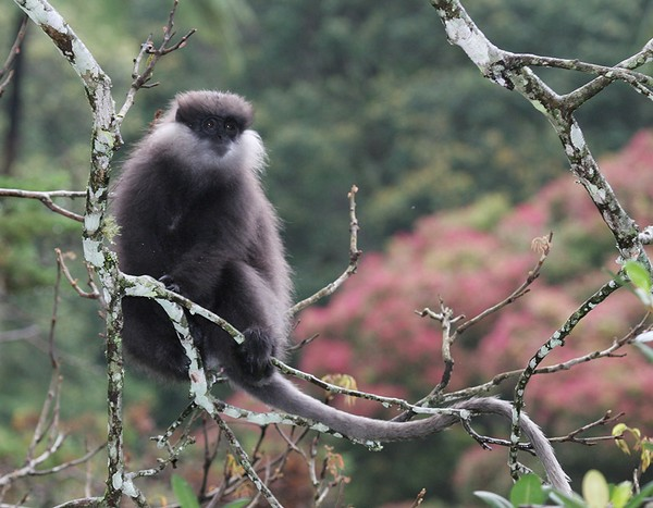 белобородая обезьяна
