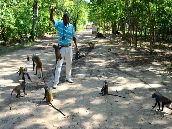мавпи в Кенії