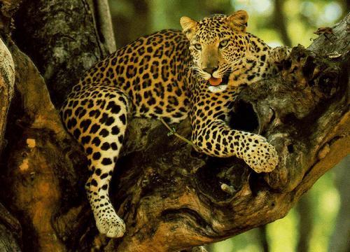гепард на дереве