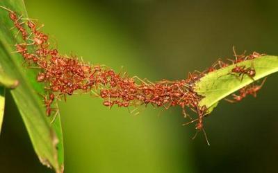 мост из муравьев