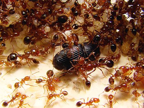 вогняні мурахи