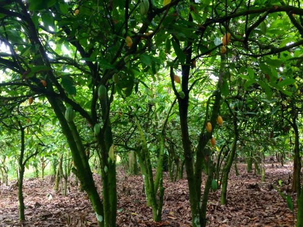 плантации какао в Гане