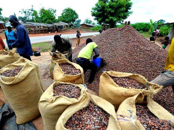 плантації какао в Гані