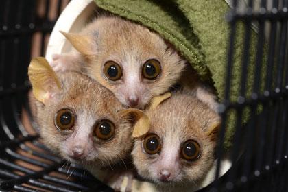 Мышиные лемуры