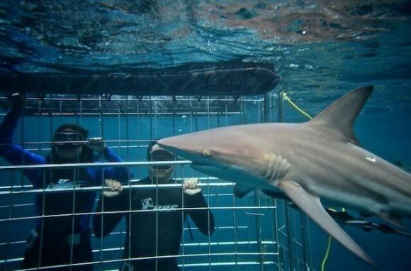 погружение к акулам
