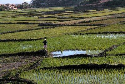 рисові поля на Мадагаскарі