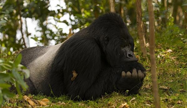 горила