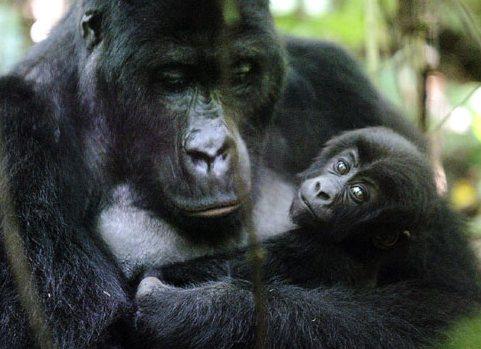 горила мама