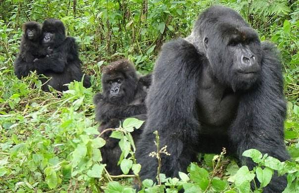 стадо горилл