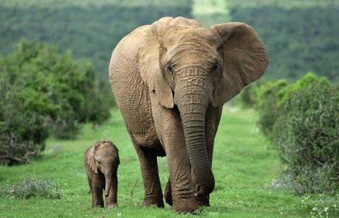 слон и слониха