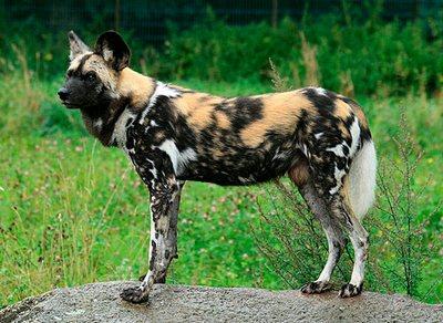 африканська собака