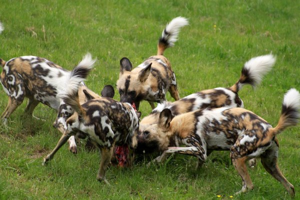 африканские собаки
