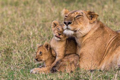 жизнь львов скачать торрент - фото 5