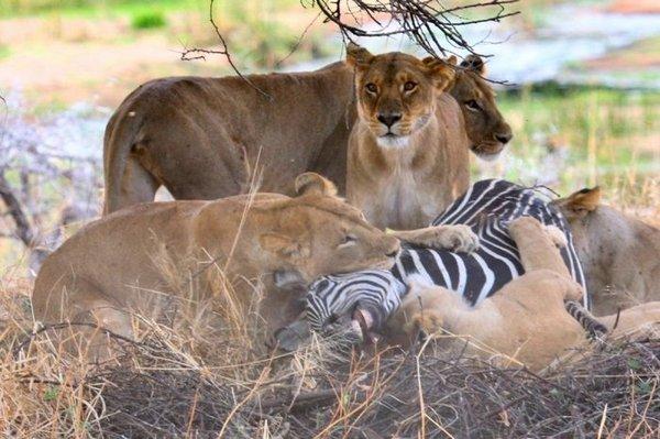 львы на охоте