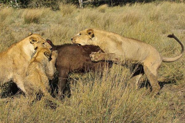 леви на полюванні