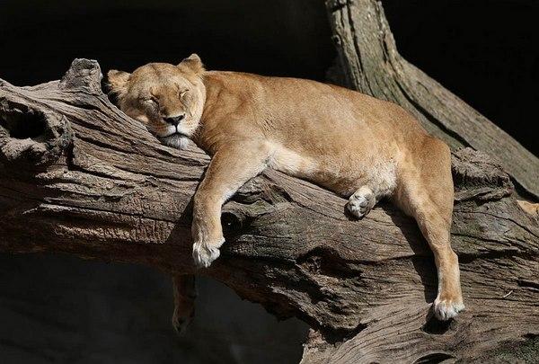 лев на дереве