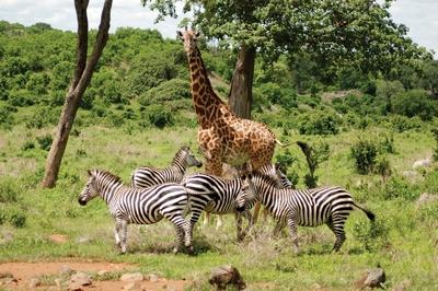 Сафарі в Кенії