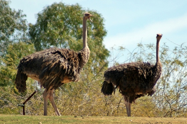 африканські страуси