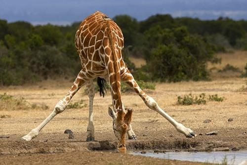 жираф пьет воду
