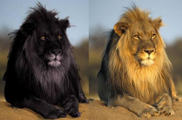 Чорний лев