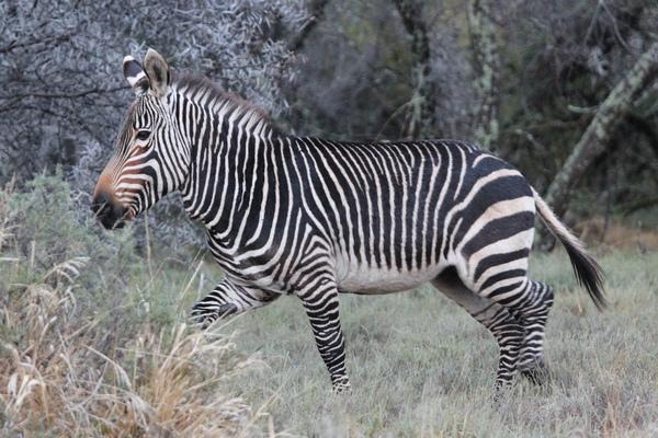 Горная зебра Хартмана