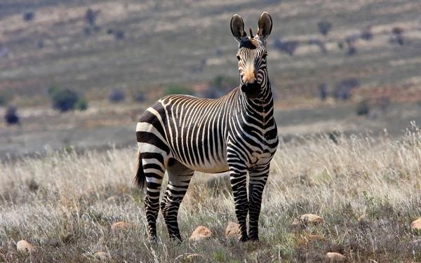 Капська гірська зебра