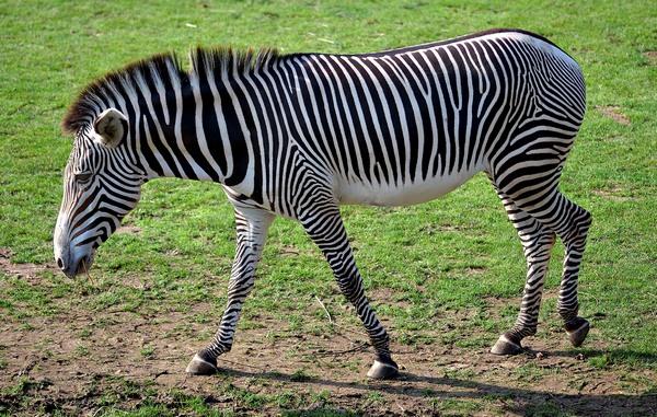 Пустельна зебра