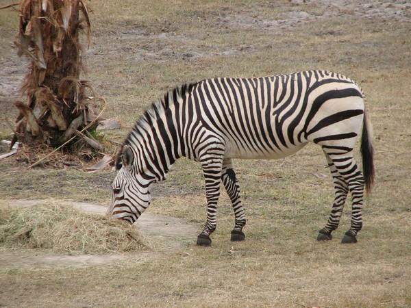 Саванова зебра