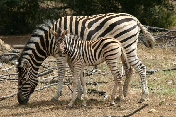 Зебра з дитинчам