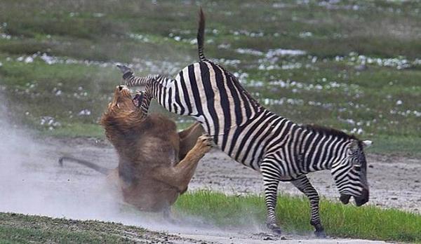 зебра отбивается от льва