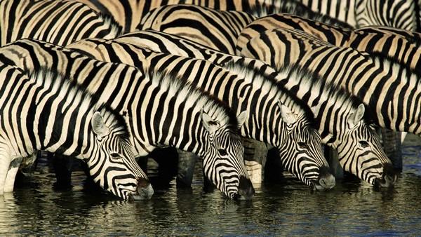 зебри на водопої