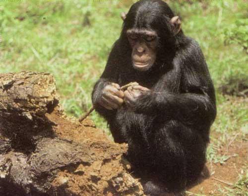 шимпанзе у термитника