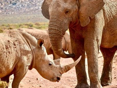 Слон і носоріг