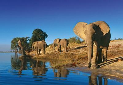 Слон на водопої