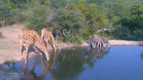 водопой в африканской саване